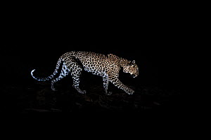 Leopard (Panthera pardus) at night, Laikipia Wilderness Camp, Kenya. Photographed with a camera trap. EDITORIAL USE ONLY. All other uses require clearance.  -  Will Burrard-Lucas