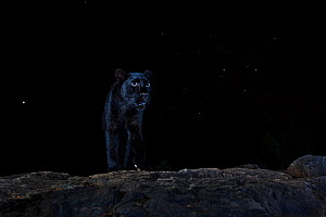 Male melanistic leopard (Panthera pardus) at night, under a starry sky. Laikipia Wilderness Camp, Kenya. Photographed with a camera trap. EDITORIAL USE ONLY. All other uses require clearance.  -  Will Burrard-Lucas