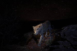 Leopard (Panthera pardus) at night, under a starry sky. Laikipia Wilderness Camp, Kenya. Photographed with a camera trap. EDITORIAL USE ONLY. All other uses require clearance.  -  Will Burrard-Lucas