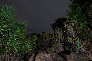 Male melanistic leopard (Panthera pardus), hidden in foliage at night, Laikipia Wilderness Camp, Kenya. Photographed with a camera trap. EDITORIAL USE ONLY. All other uses require clearance.  -  Will Burrard-Lucas