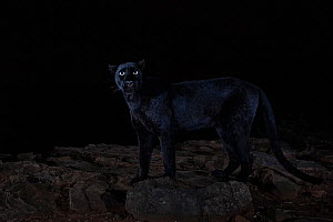 Male melanistic leopard (Panthera pardus) at night, Laikipia Wilderness Camp, Kenya. Photographed with a camera trap. EDITORIAL USE ONLY. All other uses require clearance.  -  Will Burrard-Lucas