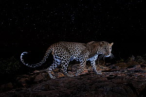 Male leopard (Panthera pardus) at night, Laikipia Wilderness Camp, Kenya. Photographed with a camera trap. EDITORIAL USE ONLY. All other uses require clearance.  -  Will Burrard-Lucas