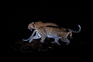 A mating pair of leopards (Panthera pardus) caught in front of a camera trap at night, Laikipia Wilderness Camp, Kenya. Photographed with a camera trap. EDITORIAL USE ONLY. All other uses require clea...  -  Will Burrard-Lucas