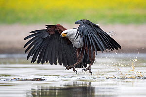 African fish eagle (Haliaeetus vocifer) swoops to catch a freshly caught fish, dropped by a Saddle-billed stork (Ephippiorhynchus senegalensis) after being pressurised to do so by the eagle. Liuwa Pla...  -  Ben Cranke