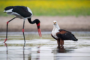 African fish eagle (Haliaeetus vocifer) scans the surface of a waterhole for any signs of a swimming fish, while a passing Saddle-billed stork (Ephippiorhynchus senegalensis) searches for a fish in th...  -  Ben Cranke