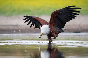African fish eagle (Haliaeetus vocifer) grabs a fish for a meal, that had recently been caught by a Saddle-billed stork (Ephippiorhynchus senegalensis), after the eagle had pressurised the stork into...  -  Ben Cranke