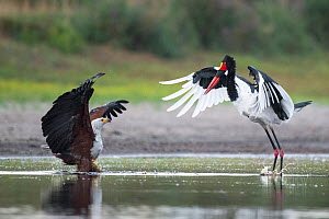 African fish eagle (Haliaeetus vocifer) pressurises a Saddle-billed stork (Ephippiorhynchus senegalensis) into dropping a freshly caught fish, so that it can be stolen for a meal. Liuwa Plain National...  -  Ben Cranke