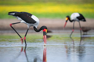 Saddle-billed stork (Ephippiorhynchus senegalensis) sweeps a waterhole, searching for fish. Liuwa Plain National Park, Zambia.  -  Ben Cranke