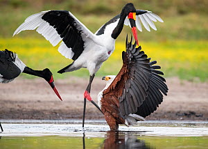 African fish eagle (Haliaeetus vocifer) battles to keep a freshly caught fish, stolen for a meal from a Saddle-billed stork (Ephippiorhynchus senegalensis). Liuwa Plain National Park, Zambia  -  Ben Cranke