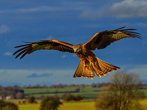 RF - Red kite (Milvus milvus) in flight, UK. November. (This image may be licensed either as rights managed or royalty free.)  -  Andy Rouse