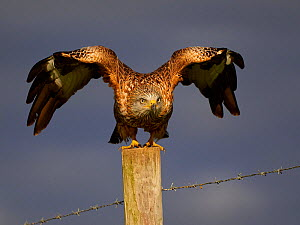 Red kite (Milvus milvus) taking off from a fence post, UK. November.  -  Andy Rouse