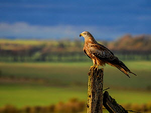 Red kite (Milvus milvus) perched on a fence post, UK. November.  -  Andy Rouse