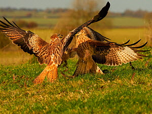Two Red kites (Milvus milvus) fighting on the ground, UK. November.  -  Andy Rouse