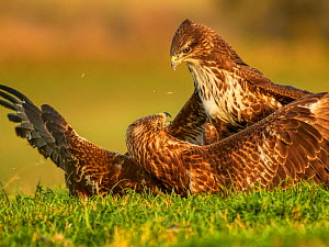RF - Common buzzard (Buteo buteo) two fighting over food, UK. (This image may be licensed either as rights managed or royalty free.)  -  Andy Rouse