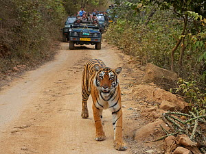 Bengal tiger (Panthera tigris) tigress Arrowhead with people watching from vehicles. Ranthambhore, India  -  Andy Rouse