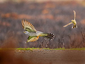 Meadow pipit (Anthus pratensis) chasing Cuckoo (Cuculus canorus) UK. Small repro only.  -  Andy Rouse