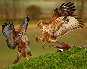 Common buzzard (Buteo buteo) two fighting over food, UK. November.  -  Andy Rouse