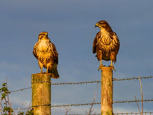 Common buzzard (Buteo buteo) two perched on fence posts, UK November.  -  Andy Rouse