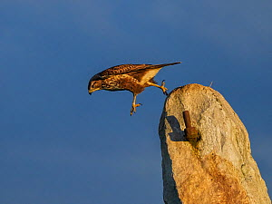 Common buzzard (Buteo buteo) jumping from rock UK. November.  -  Andy Rouse