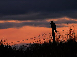 Common buzzard (Buteo buteo) perched at sunset, UK., November.  -  Andy Rouse