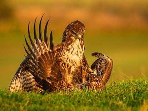 Common buzzards (Buteo buteo) fighting over food, UK. November.  -  Andy Rouse