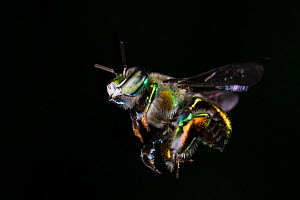 Orchid bee (Euglossa imperialis) male in flight, close up. Golfito, Costa Rica.  -  Cyril Ruoso