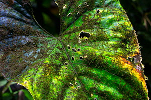 Leaf covered in epiphytes including moss, lichen and cyanobacteria. Golfito, Costa Rica.  -  Cyril Ruoso
