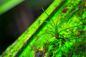 Bromeliad (Bromeliaceae) seedling growing as epiphyte on leaf alongside moss, lichen and cyanobacteria. Golfito, Costa Rica.  -  Cyril Ruoso