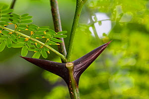 Bull horn acacia (Acacia sp), close up of thorn. The hollow thorn can provide a nest site to Ants (Pseudomyrmex sp). Osa Peninsula, Costa Rica.  -  Cyril Ruoso
