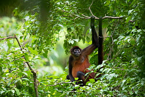 Geoffroy's spider monkey (Ateles geoffroyi) in tropical rainforest. Osa Peninsula, Costa Rica.  -  Cyril Ruoso