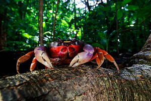 Mexican land crab (Gecarcinus quadratus) in rainforest. Osa Peninsula, Costa Rica.  -  Cyril Ruoso
