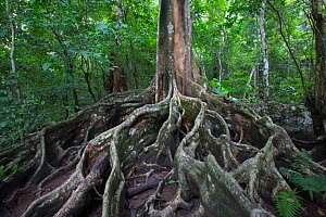 Buttress roots of tree in rainforest. Osa Peninsula, Costa Rica.  -  Cyril Ruoso