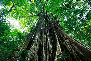 Fig tree (Ficus sp), view from below. Osa Peninsula, Costa Rica.  -  Cyril Ruoso