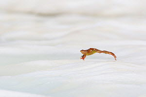 Common frog (Rana temporaria) leaping across snow. Alps, France. June.  -  Cyril Ruoso