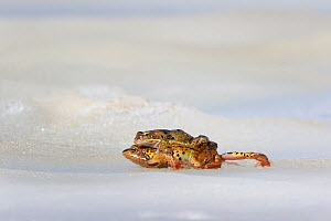 Common frog (Rana temporaria) pair mating on ice. Alps, France. June.  -  Cyril Ruoso