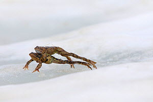 Common frog (Rana temporaria) pair in tandem, leaping across ice. Alps, France. June.  -  Cyril Ruoso