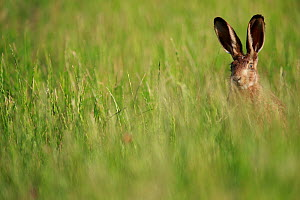 European hare (Lepus europaeus) in grassland, head visible above grass. Yonne, France. June.  -  Cyril Ruoso