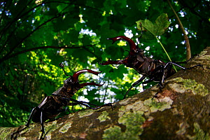 Stag beetle (Lucanus cervus), two males fighting in woodland. Yonne, France. June.  -  Cyril Ruoso