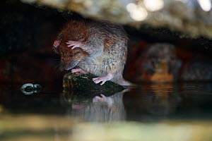 Brown rat (Rattus norvegicus) washing on bank of River Yonne. Sens, France. September.  -  Cyril Ruoso