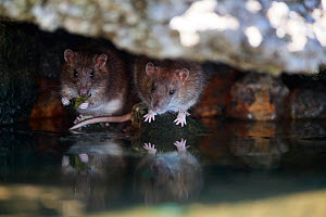 Brown rat (Rattus norvegicus), two on bank of River Yonne, one feeding on leaf. Sens, France. September.  -  Cyril Ruoso
