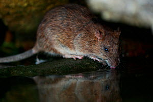 Brown rat (Rattus norvegicus) drinking from River Yonne, reflected in water. Sens, France. September.  -  Cyril Ruoso
