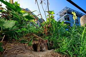 Brown rat (Rattus norvegicus) looking out of hole on bank of River Yonne, buildings in background. Sens, Bourgogne-Franche-Comte, France. September 2019.  -  Cyril Ruoso