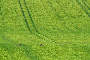Roe deer (Capreolus capreolus) two does crossing a field of barley. Yonne, Bourgogne-Franche-Comte, France.  -  Cyril Ruoso