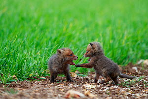 Red fox (Vulpes vulpes), two cubs play fighting at edge of field, near den. Yonne France. May.  -  Cyril Ruoso