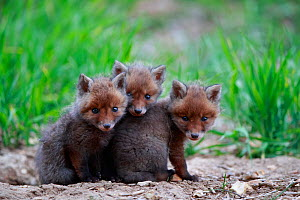 Red fox (Vulpes vulpes), three cubs huddled together outside den. Yonne France. May.  -  Cyril Ruoso