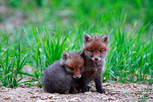 Red fox (Vulpes vulpes), two cubs huddled together near den. Yonne France. May.  -  Cyril Ruoso