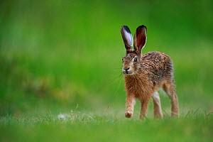 European hare (Lepus europaeus) in grassland. Yonne, France. May.  -  Cyril Ruoso