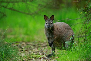 Red-necked wallaby (Macropus rufogriseus) female feeding. Wallaby population naturalised after escaping from an animal park. Rambouillet forest, France. May.  -  Cyril Ruoso