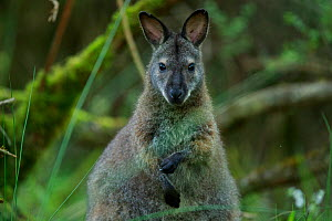 Red-necked wallaby (Macropus rufogriseus) female. Wallaby population naturalised after escaping from an animal park. Rambouillet forest, France. May.  -  Cyril Ruoso