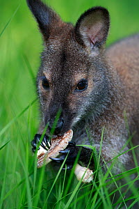 Red-necked wallaby (Macropus rufogriseus) female feeding on Parasol mushroom (Macrolepiota procera). Wallaby population escaped from an animal park, naturalised in Rambouillet forest, France. May.  -  Cyril Ruoso